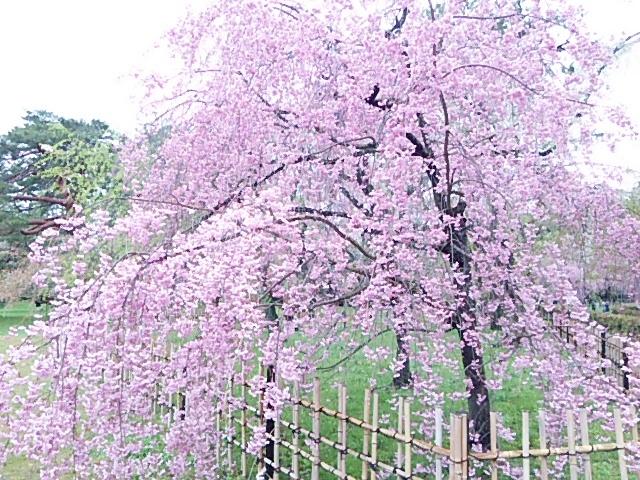 京都御所・枝垂桜