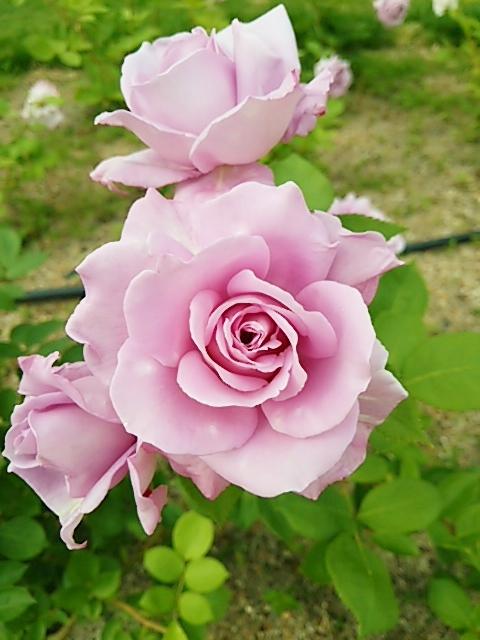 びわ湖大津館・イングリッシュガーデンのバラ