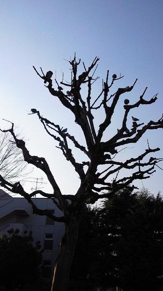 鳩のなる木