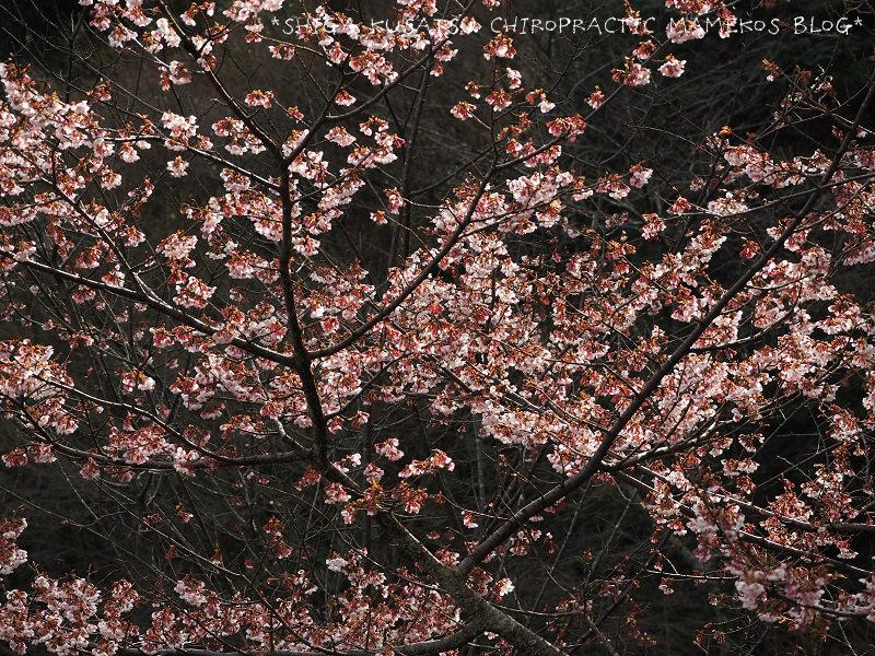 カンザクラ夢の桜