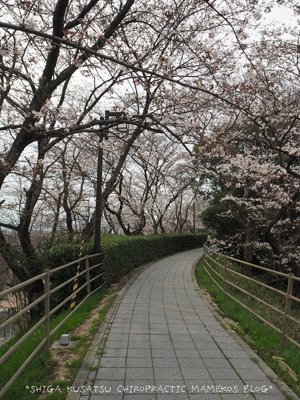 天井川桜並木