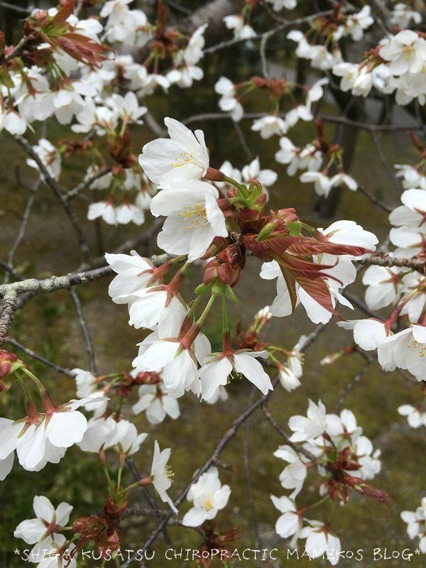 南禅寺山門前桜
