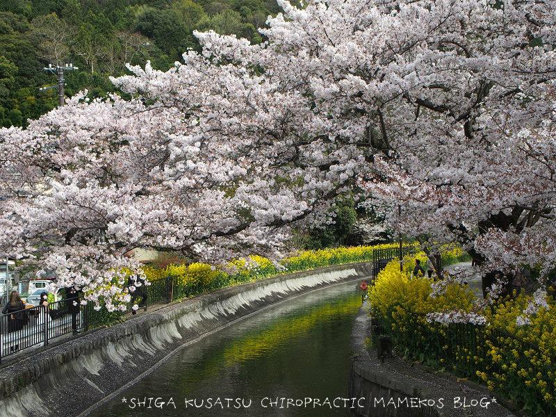 山科疎水桜&菜の花