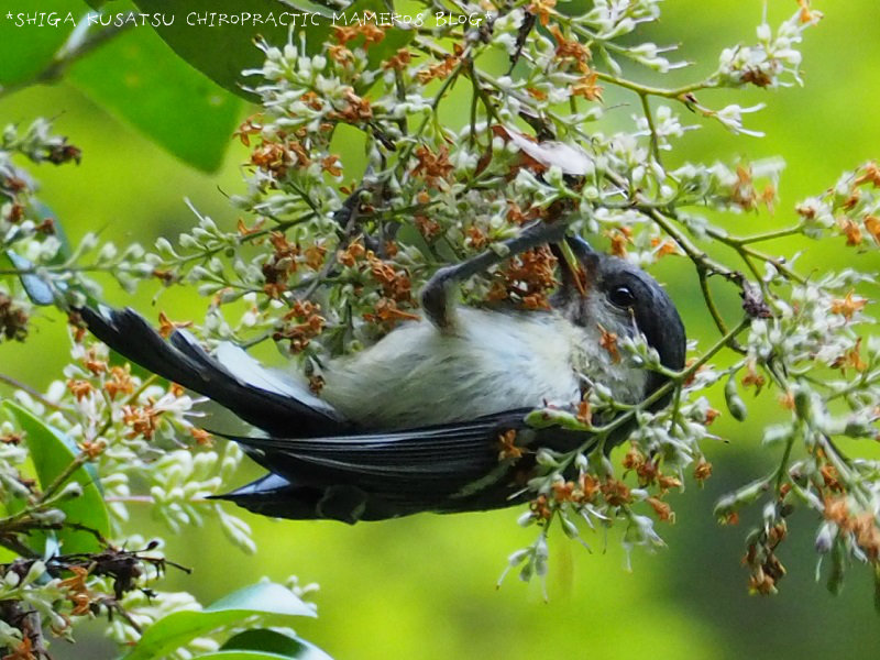 シジュウカラ幼鳥1