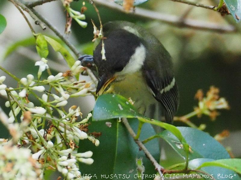 シジュウカラ幼鳥4