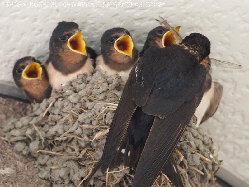 親ツバメ&幼鳥