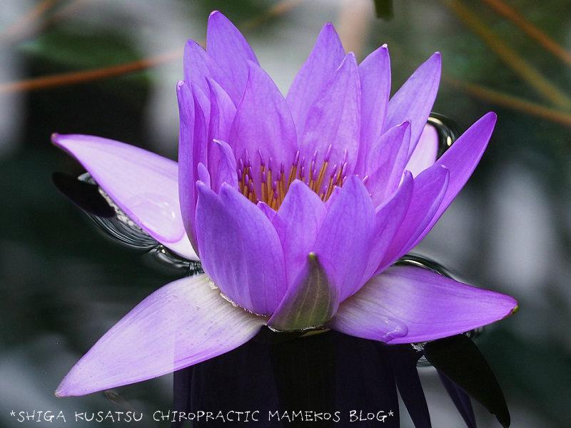 スイレン紫2